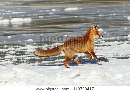Red Fox Running On Ice
