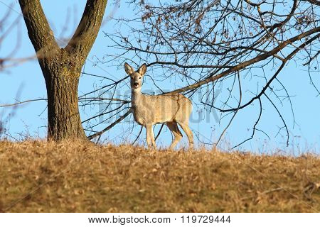Roe Deer On Top Of A Hill