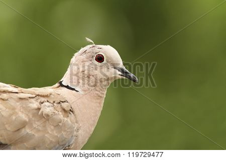 Turtledove Portrait On Green Background