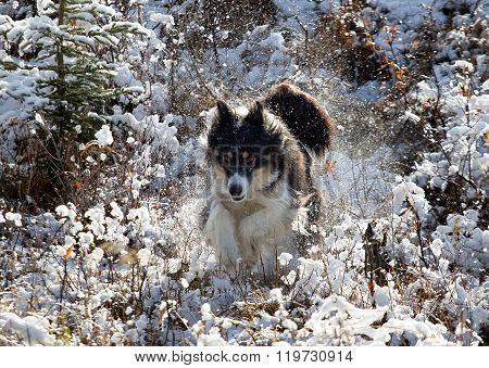 Husky Leaping Through The Snow