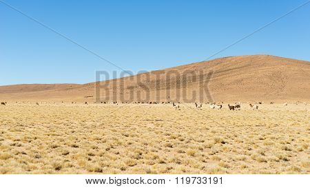 Desertic Highlands On The Andes With Llamas, Bolivia