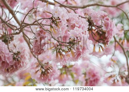 Pink Pantip blossom flowers on the tree.soft focus