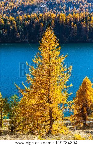 Golden Larch In Autumn
