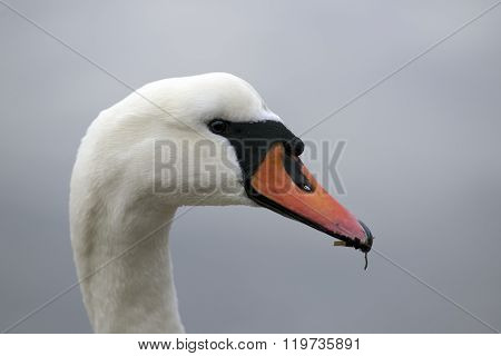 Danish Swan