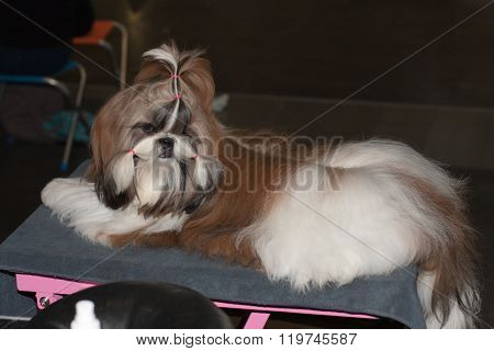Lhasa Apso  Lying On The Blanket On The Table