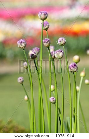 Allium flower buds in Tulip gardens
