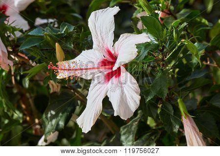 white Hibiscus flower on Kos island