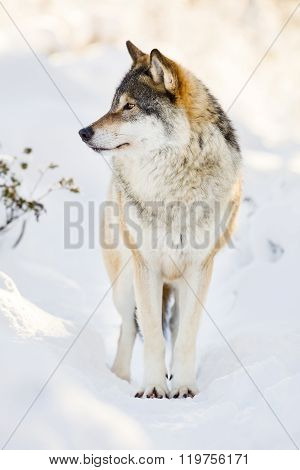 Beautiful wolf standing in the snow