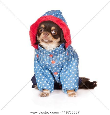 adorable chihuahua dog in clothes