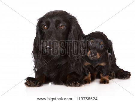 dachshund dog with a puppy