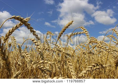 Wheat ears close-up on a background of blue sky with clouds