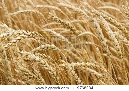 Ripe Ears Of Wheat