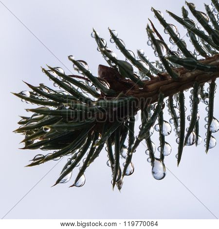 Dew Drop Covered Sitka Spruce Twig
