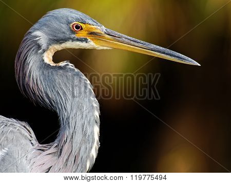Extreme close up of a Tricolored Heron