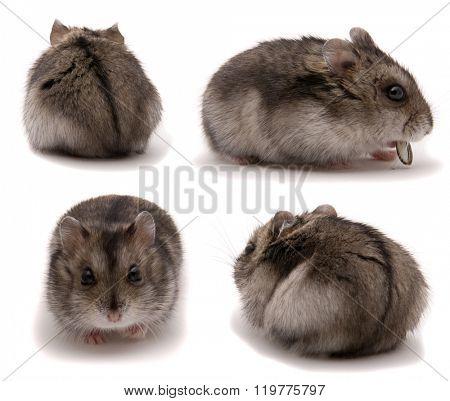 Little dwarf hamster. Set on studio white background