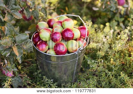 bucket with ripe red apples in grass