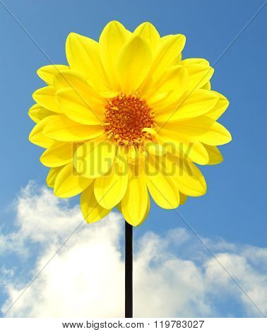 Dahlia Dahlietta yellow Series flower