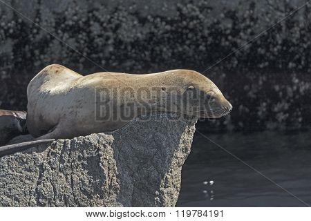 Stellar Sea Lion On A Rock
