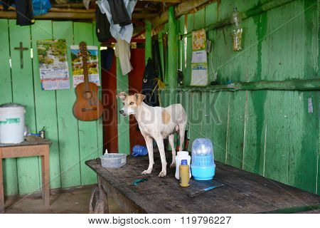 SANTA ANA VILLAGE, PERU - OCTOBER 16, 2015: Dog on table. In a private home a family dog stands on the dining table