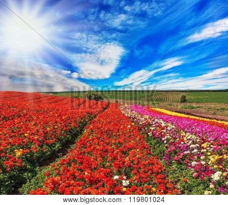 Bright spring sun.  Flowers planted with broad bands of bright colors - red  and pink. Field of multi-colored decorative buttercups