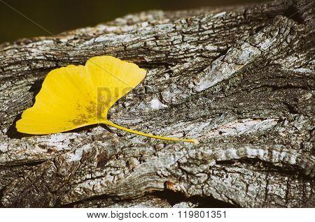 Ginkgo Biloba Leaf At Wooden