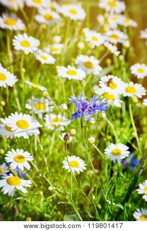 Cornflower In Daisy  Background