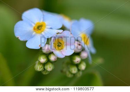 Water forget-me-not (Myosotis scorpioides)
