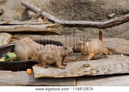Prairie Dog In Zoo