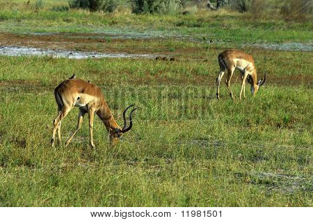 Grazing Impalas