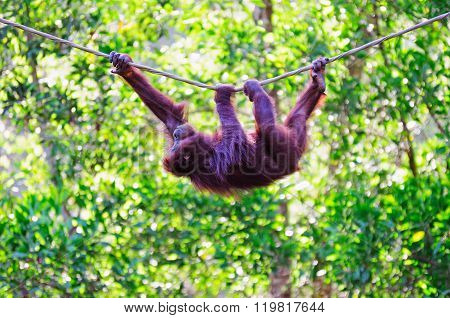 Swinging Orangutan In Sabah Borneo, Malaysia.