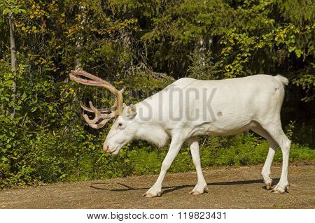 White reindeer is on the way