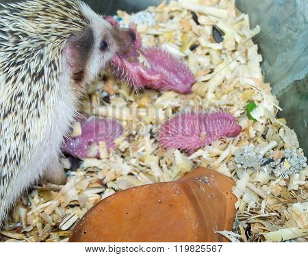 dwarf porcupine