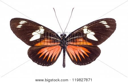 Heliconius doris. Beautiful colorful butterfly with brown and orange wings isolated on white. Ithomiidae, Narrow-Wings