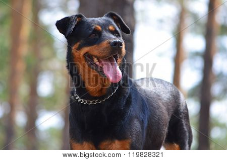 Dog of breed a Rottweiler