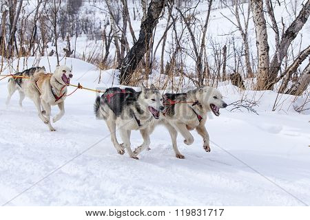 two dogs in harness pulling a sleigh competitions