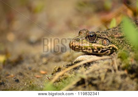 Frog or toad, basking in the sun. Macro. Close-up