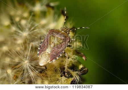 Stink Beetle Sits On Dandelion. The Bedbug