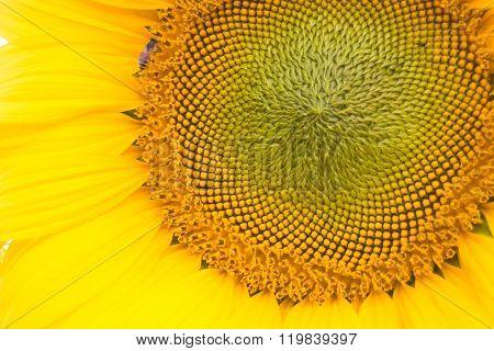 Beautiful Sunflower Pollen Up Close