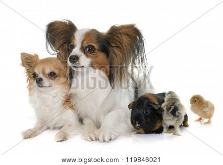 Dogs, Chicks  And Guinea Pig