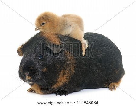 Guinea Pig And Chick