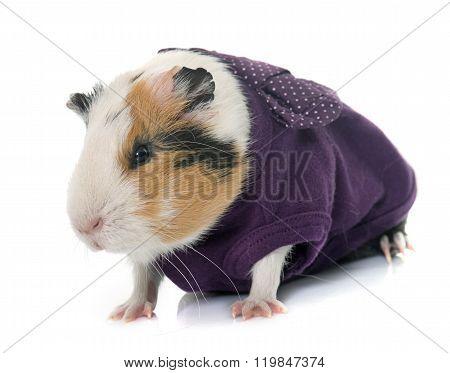 Dressed Guinea Pig In Studio