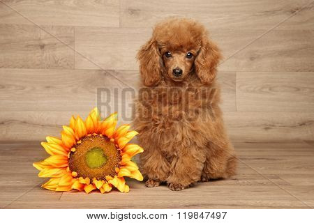 Red Dwarf Poodle On Wooden Background