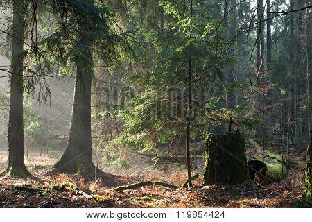 Misty Autumnal Coniferous Stand