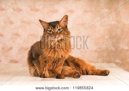 Sitting lazy somali cat on floor going to lick itself