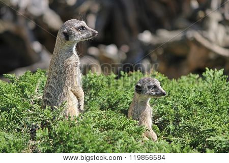 Two meerkat peeking out of the bushes