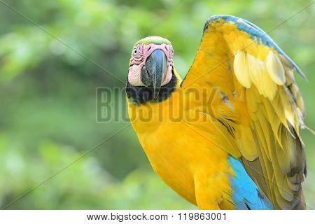 Closeup of a blue-and-yellow macaw (Ara ararauna) in the rain forest of the Peruvian Amazon.