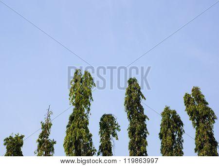 Polyalthia longifolia  in blue sky