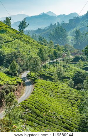 Tea Plantages In Green Hills In India