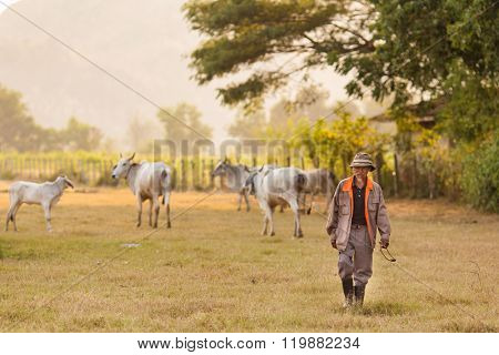 KANCHANABURI, THAILAND, JANUARY 18, 2016 : A Thai farmer is walking in a field with his cow herd in Kanchanaburi, Thailand