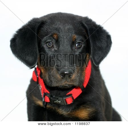 Baby Beauceron